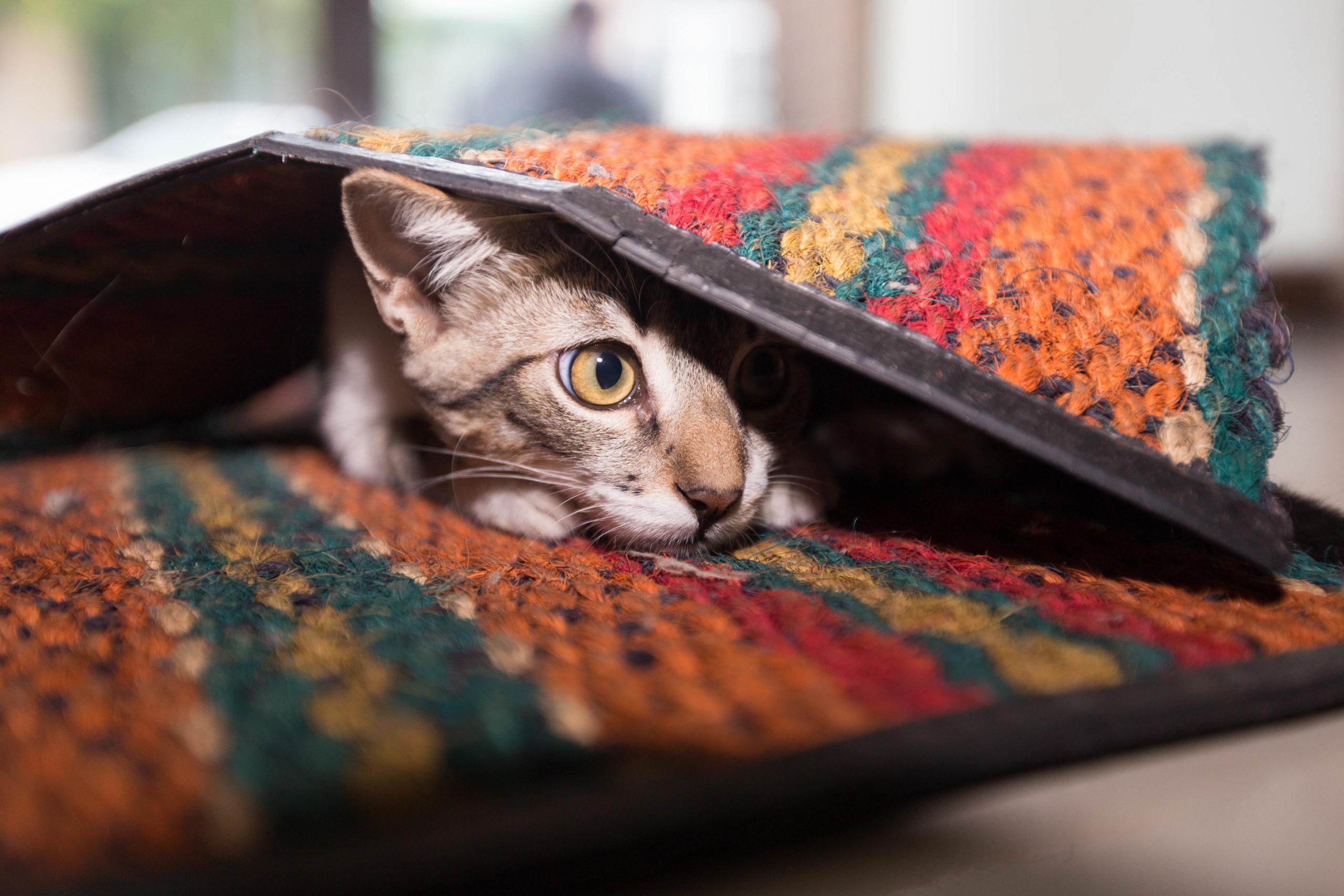 chat caché sous le tapis